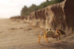 Crabe jaune Image libre de droits