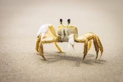 Crabe jaune Photographie stock libre de droits