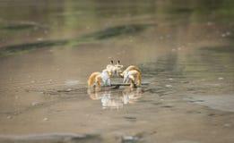 Crabe jaune marchant sur la plage photo libre de droits