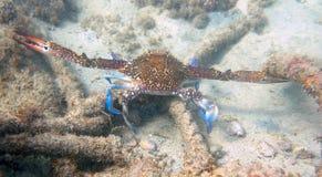 Crabe méditerranéen Images stock