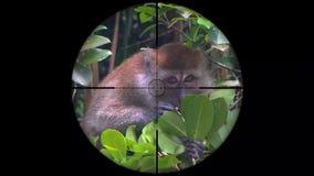 Crabe-mangeant des fascicularis de Macaca de Macaque, également connus sous le nom de singe Long-coupé la queue vu dans la portée clips vidéos