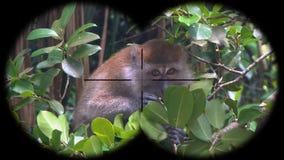 Crabe-mangeant des fascicularis de Macaca de Macaque, également connus sous le nom de singe Long-coupé la queue vu par des jumell banque de vidéos