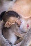 Crabe mangeant le bébé de macaque alimentant de la mère Photographie stock