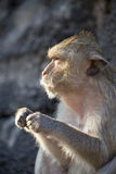 Crabe mangeant le macaque Image stock