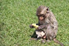 Crabe-mangeant le singe de Macaque se reposant sur le gazon et manger du maïs image libre de droits