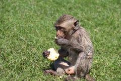 Crabe-mangeant le singe de Macaque se reposant sur le gazon et manger du maïs images stock