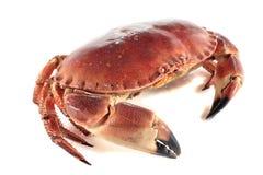 Crabe marin photo libre de droits