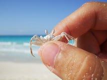 Crabe minuscule de fantôme saisi par des doigts image stock