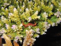 Crabe minuscule de récif image stock