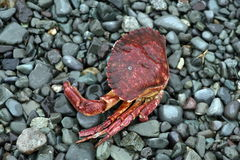Crabe mort Images stock