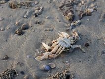 Crabe mort Photographie stock