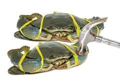 Crabe noir cru attaché avec le jaune de corde et martelé sur le backg blanc Photographie stock