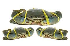 Crabe noir cru attaché avec le jaune de corde sur le fond blanc Image libre de droits