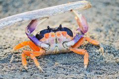 Crabe orange Image stock