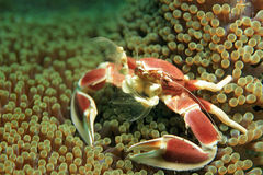 Crabe repéré de porcelaine photo stock