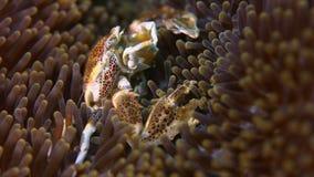 Crabe repéré de porcelaine banque de vidéos