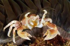 Crabe repéré de porcelaine photographie stock libre de droits