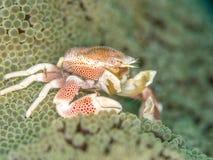 Crabe repéré de porcelaine, maculatus de Neopetrolisthes Pulisan, Sulawesi du nord images libres de droits