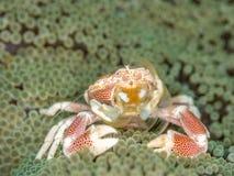 Crabe repéré de porcelaine, maculatus de Neopetrolisthes Pulisan, Sulawesi du nord photographie stock