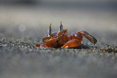 Crabe rouge Photos libres de droits