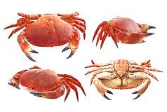 Crabe rouge Photographie stock libre de droits