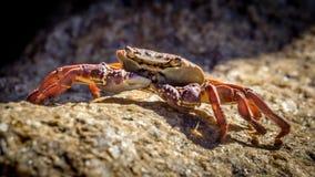 Crabe rouge Images libres de droits