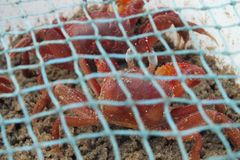 Crabe rouge Christopher photographie stock
