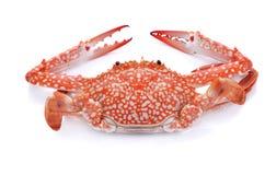 Crabe rouge d'isolement sur le fond blanc Images stock