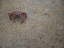 Crabe rouge de champ se reposant paisiblement Photo libre de droits