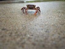 Crabe rouge de champ se reposant paisiblement Image stock
