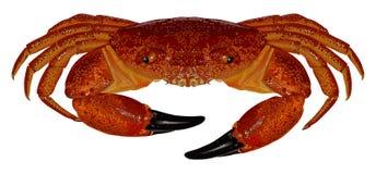 Crabe rouge Photorealistic illustration de vecteur