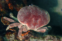 Crabe rouge sous-marin Photographie stock