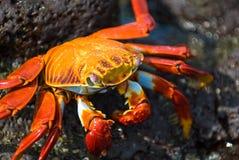 Crabe rouge sur la roche, îles de Galapagos Images libres de droits