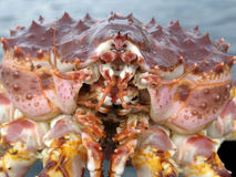 Crabe royal Photographie stock