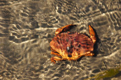 Crabe sous l'eau Photos libres de droits
