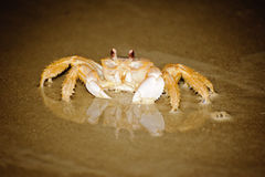 Crabe sur la plage avec la réflexion images libres de droits