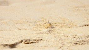 Crabe sur la plage sablonneuse banque de vidéos