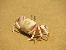 Crabe sur la plage sur l'île de Bazaruto Photo stock