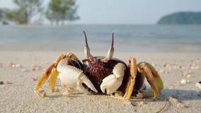 Crabe sur la plage tropicale banque de vidéos