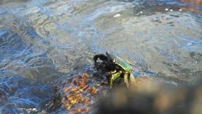 Crabe sur la roche à la plage banque de vidéos