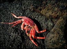 Crabe sur la roche Photo libre de droits