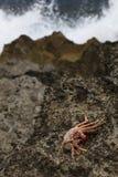 Crabe sur la roche de lave Image stock