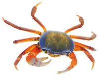 Crabe sur le blanc Photos stock