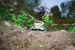 Crabe sur le rivage de l'étang dans le Butterfly Valley de l'île de Rhodes image libre de droits