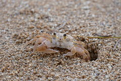 Crabe sur le sable Image stock