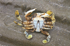Crabe sur un fond du sable Photo libre de droits