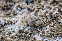 Crabe sur un fond du sable Photos libres de droits