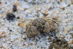 Crabe sur un fond du sable Photographie stock