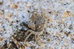 Crabe sur un fond du sable Image libre de droits