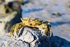 Crabe sur une roche Photos libres de droits